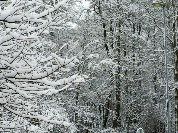 snö, träd