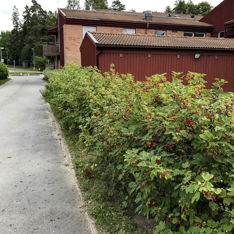 vinbärsbuskar