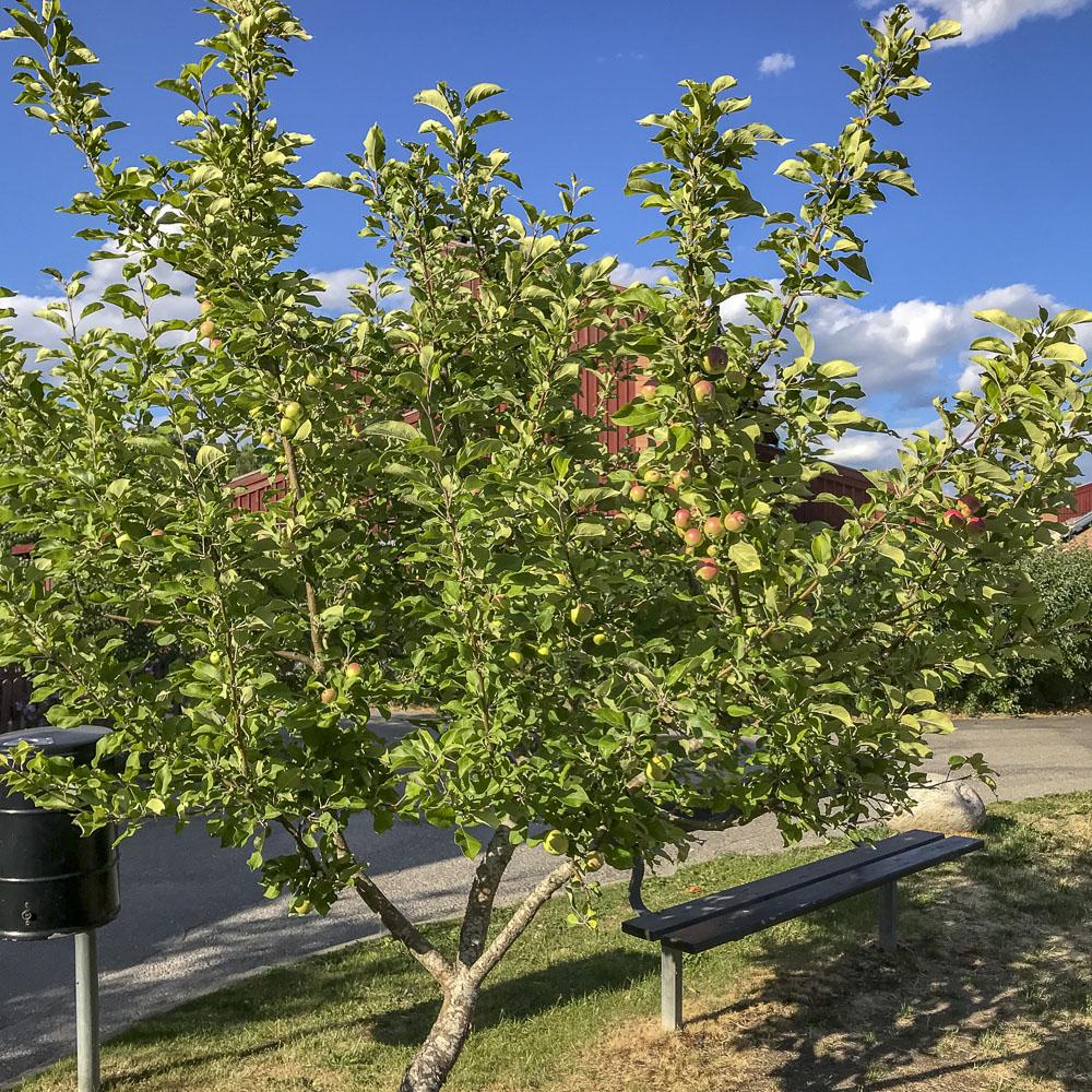 appletree, äppelträd