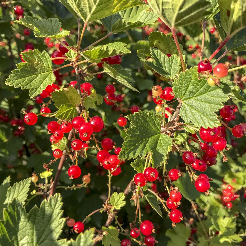 rödavinbär, redcurrants